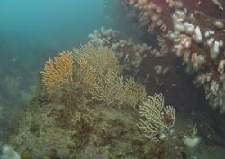 Pink sea fans on Udder Rock, Cornwall.